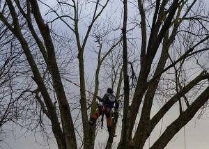 Baumpflegeschnitt mittels Seilklettertechnik